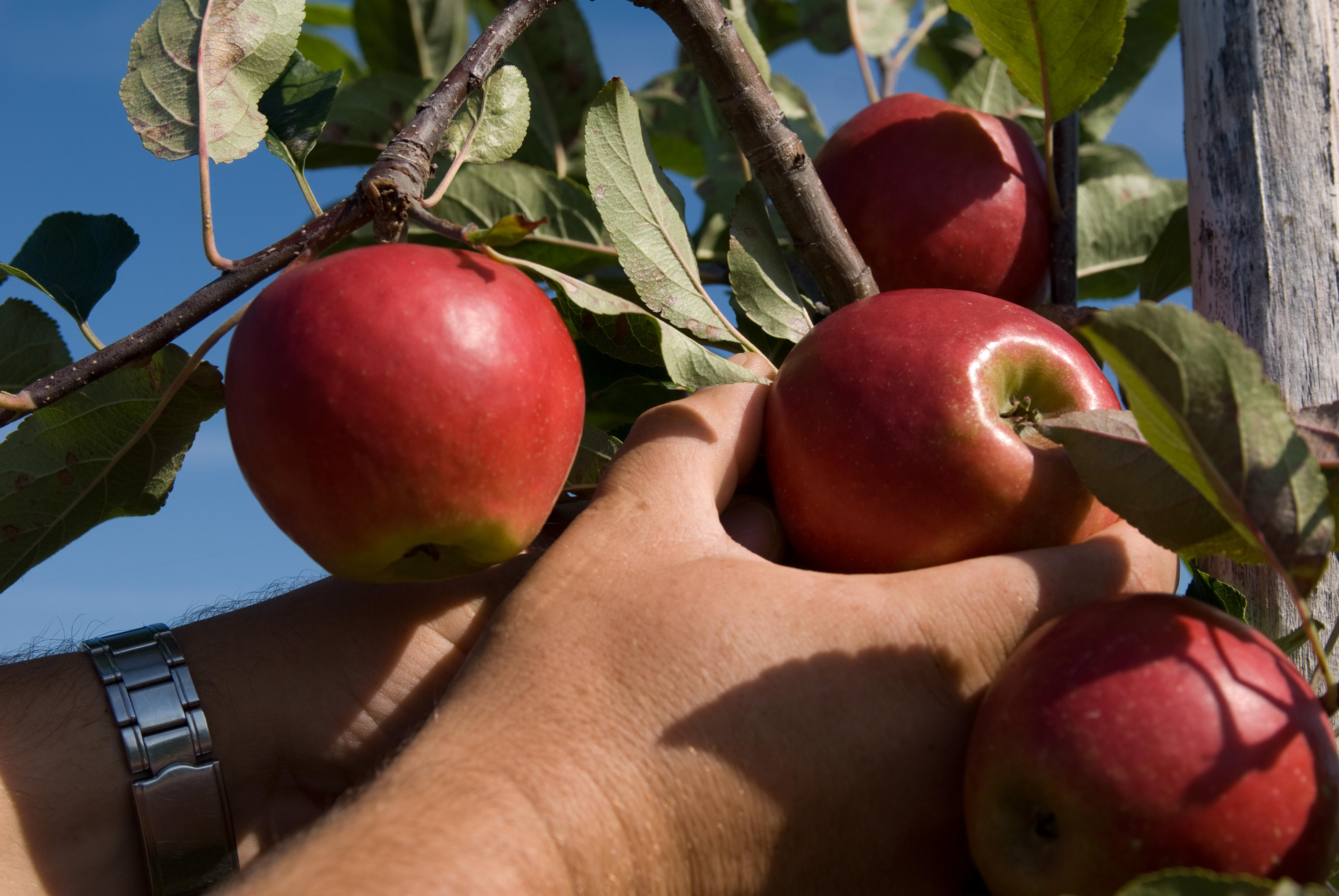 Vanaf 19 oktober weer appeltaart
